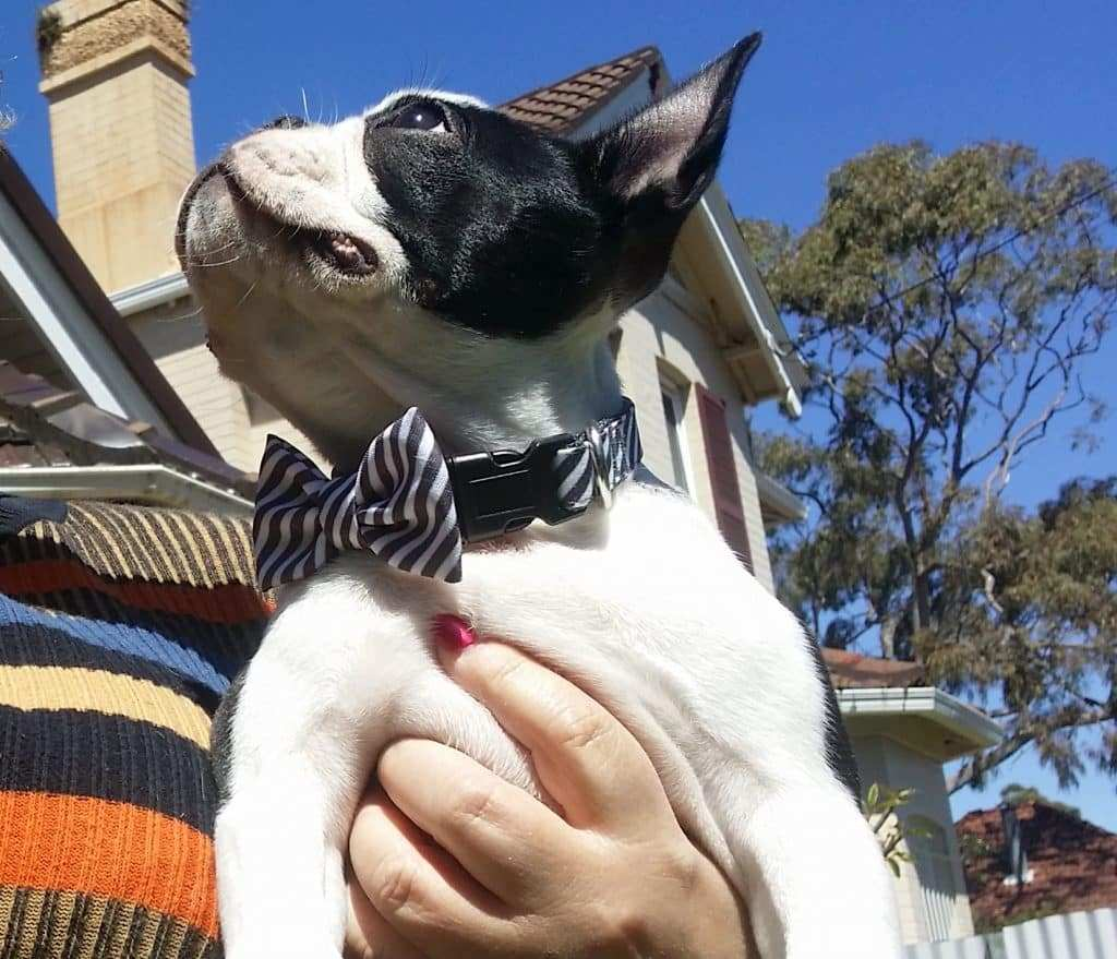 Dog At Wedding: Boston Terrier Bow Tie Pet
