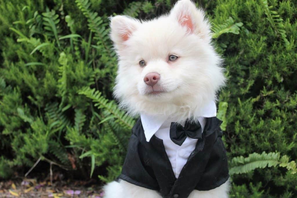 Pets At Weddings: Husky Black Tie Suit